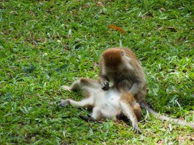 Singes dans le jardin botanique de Penang, Malaisie
