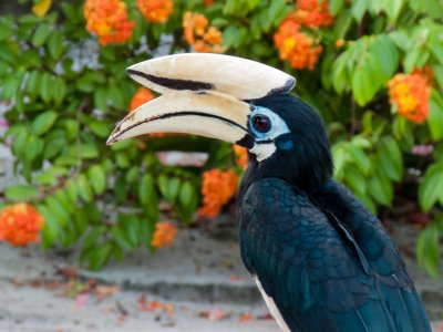 Calao, oiseau bicorne