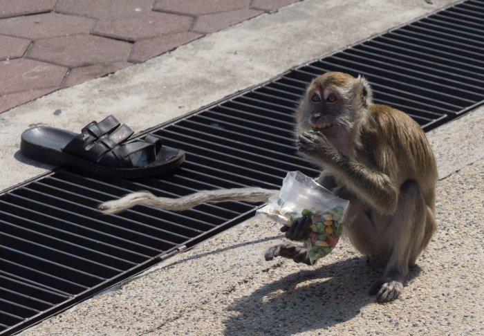 Un singe bien heureux, en Malaisie