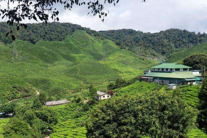 Plantation thé Malaisie