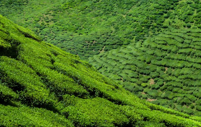 Cameron Bharat Tea Estate