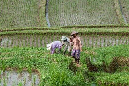 Rizière indonésienne