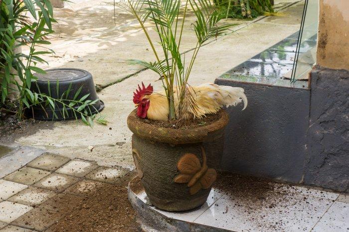 Poule dans un pot de plante