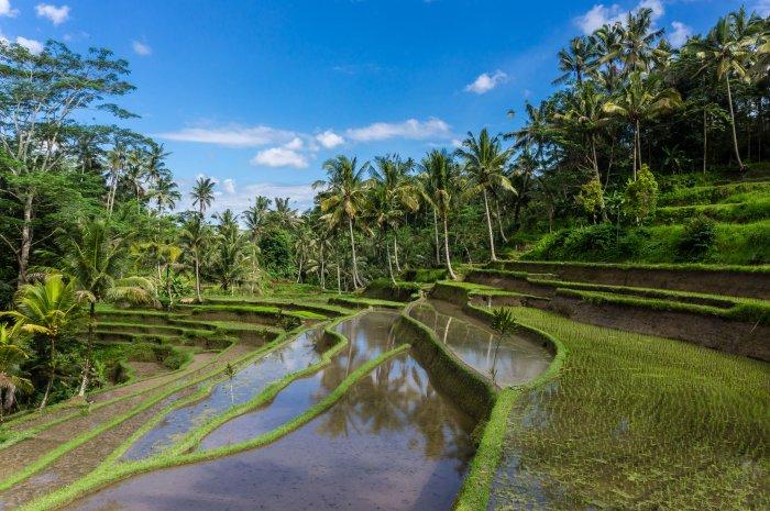 Rizières à Gunung Kawi, Bali, Indonésie