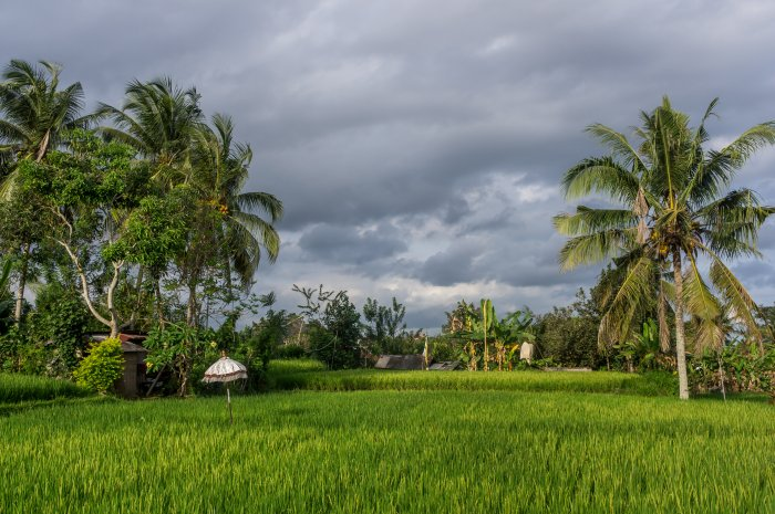 Rizières à Penestanan, Ubud, Bali