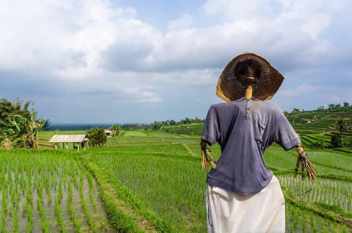 Epouvantail dans les rizières de Jatiluwih, Bali