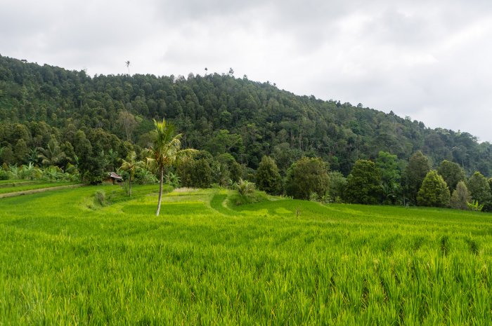 Rizières à Munduk, Bali