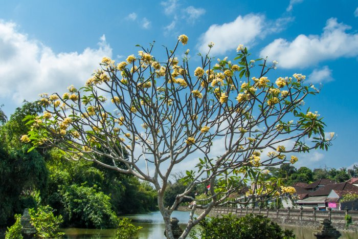 Un frangipanier jaune de Bali