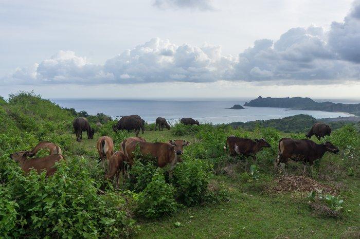Vaches en bord de mer à Lombok