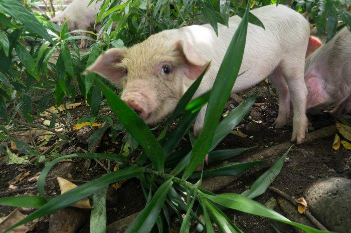 Cochon indonésien