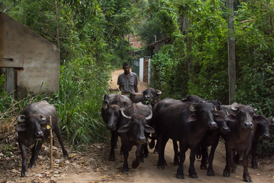 Buffles au Sri Lanka