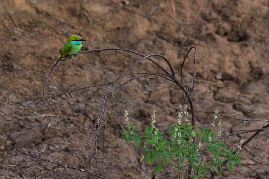 Oisillon dans le parc national d'Udawalawe