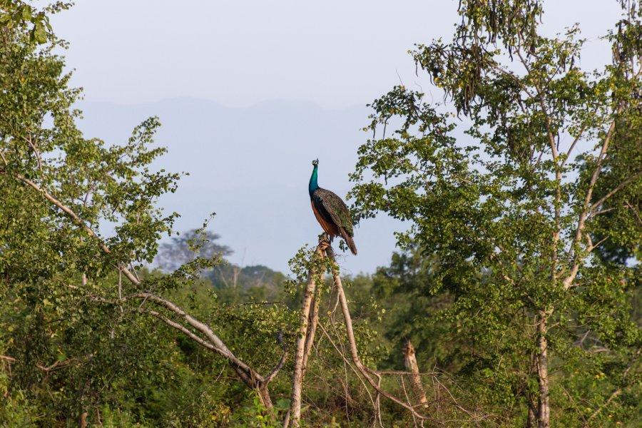 Paon dans le parc national d'Udawalawe