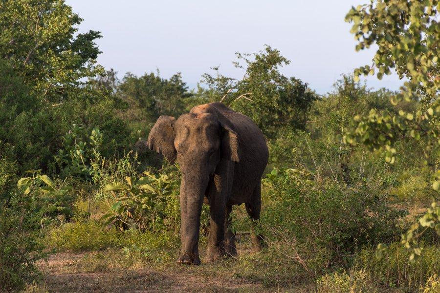 Éléphant dans le parc national d'Udawalawe