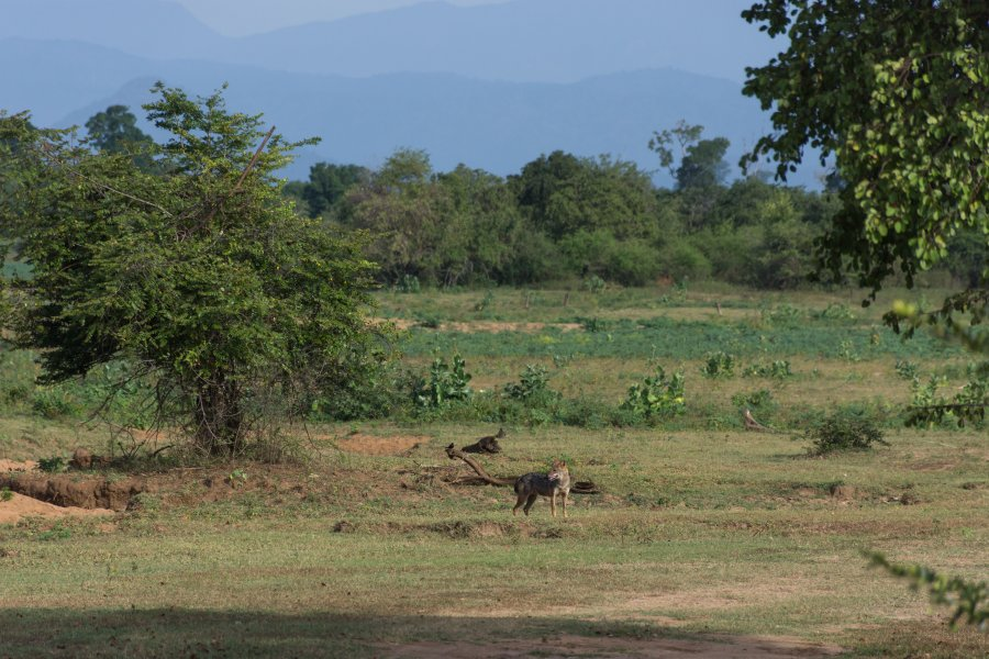Coyotes dans le parc national d'Udawalawe