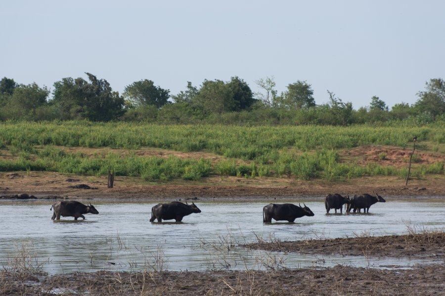 Buffles dans le parc national d'Udawalawe