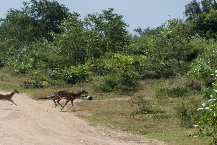 Cerfs dans le parc national d'Udawalawe