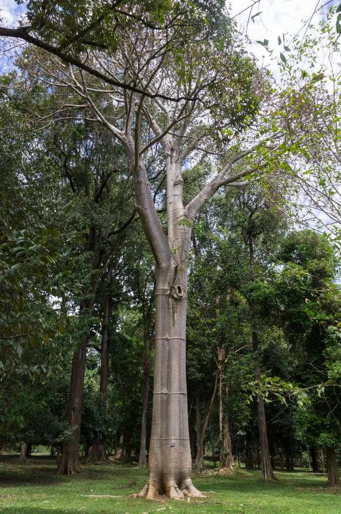 Baobab, Jardin botanique de Kandy, Sri Lanka