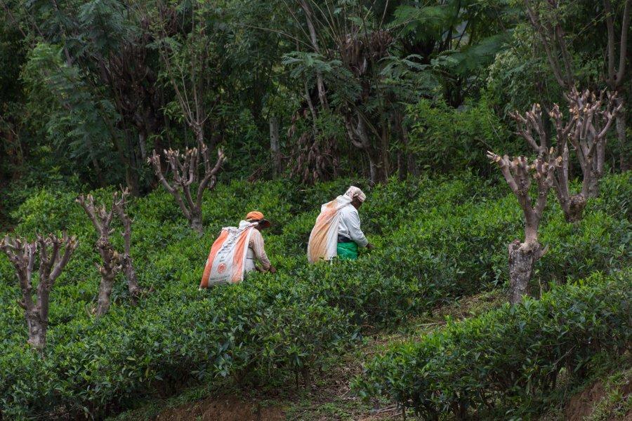 Visite de la plantation de thé Amba, Sri Lanka