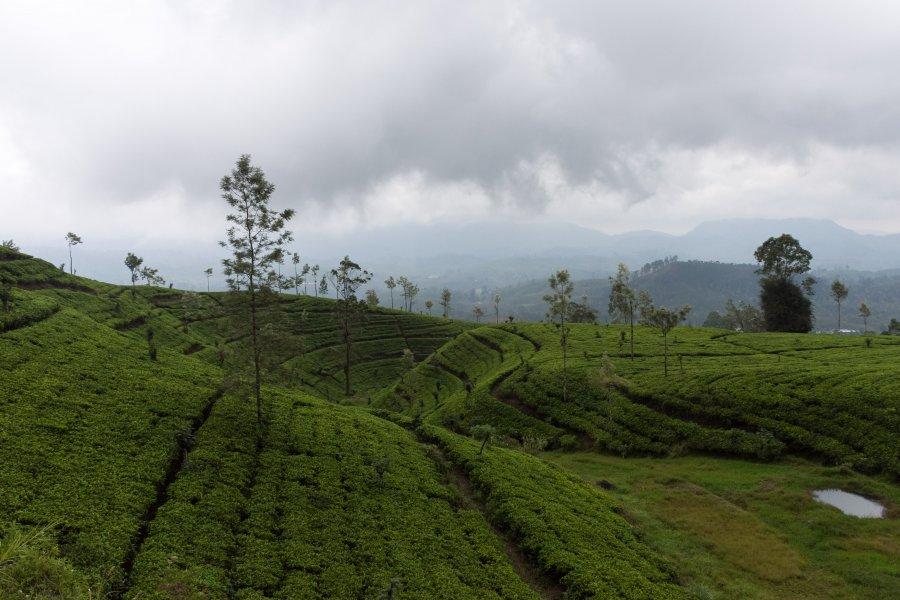 Plantations de thé de Nuwara Eliya, Sri Lanka