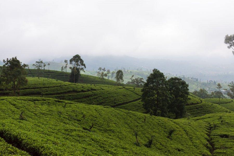 Plantations de thé de Nuwara Eliya