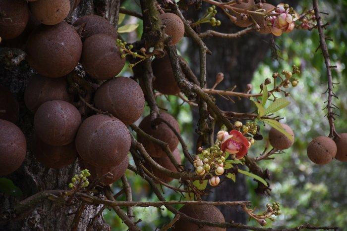 Arbre boulet de canon, Jardin botanique de Kandy, Sri Lanka