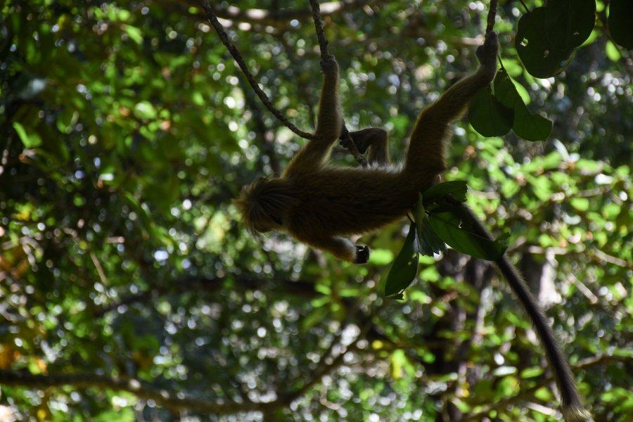Macaque, jardin botanique de Kandy, Sri Lanka