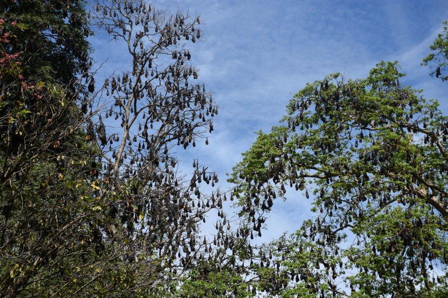 Colonie de chauves-souris, jardin botanique de Kandy, Sri Lanka