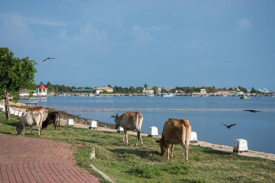 Vaches à Jaffna, Sri Lanka