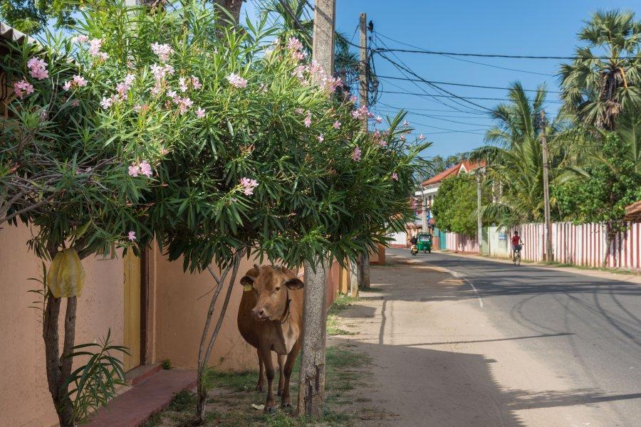 Vache à Jaffna, Sri Lanka