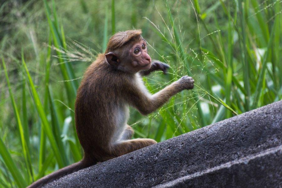 Singe à Dambulla, Sri Lanka