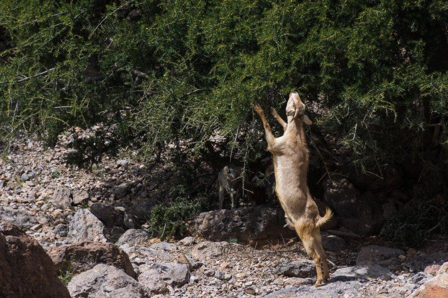 Chèvre qui mange les feuilles d'un arbre au Maroc