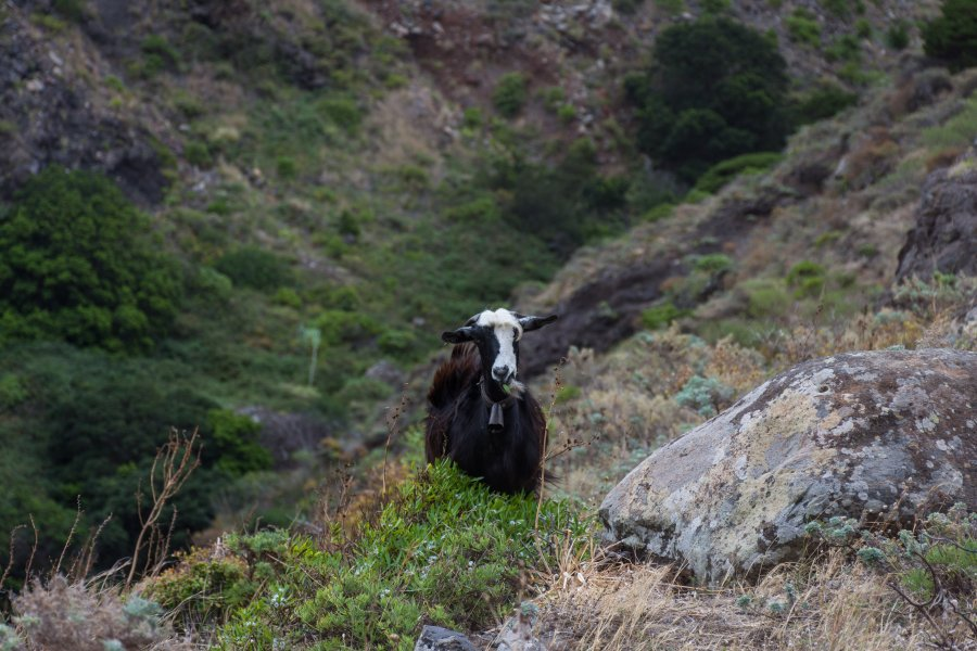 Chèvre dans l'Anaga, Tenerife
