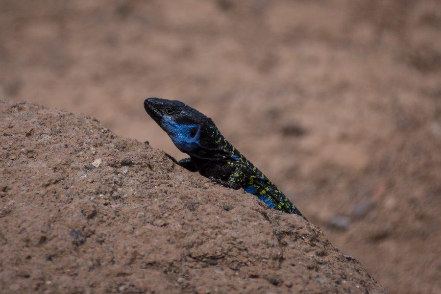 Lézard bleu de Tenerife, Canaries