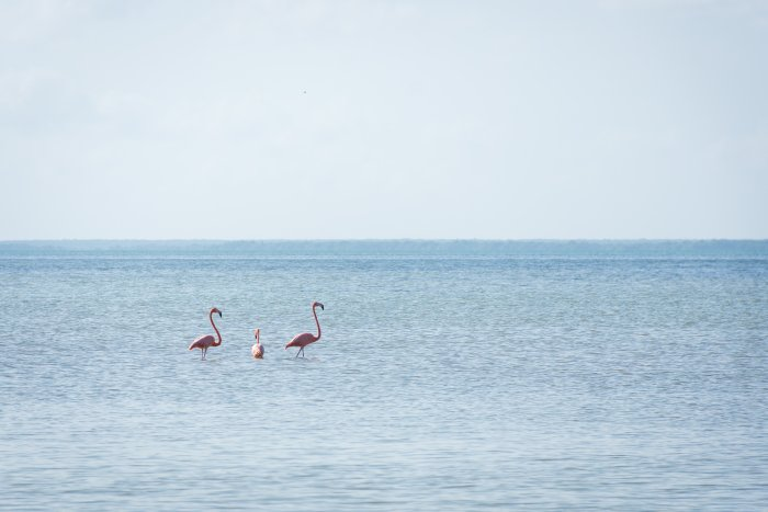 Flamants roses à Holbox, Mexique