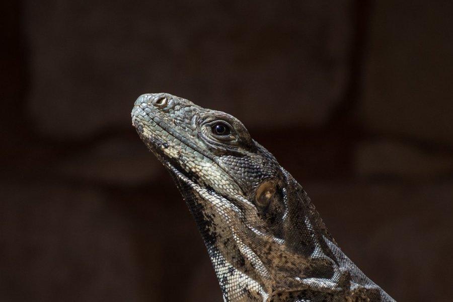 Iguane mexicain, Yucatán
