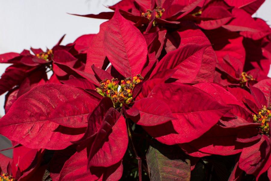 Fleurs étoiles de Noël