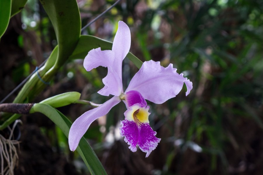 Orchidée au jardin botanique de Medellín, Colombie