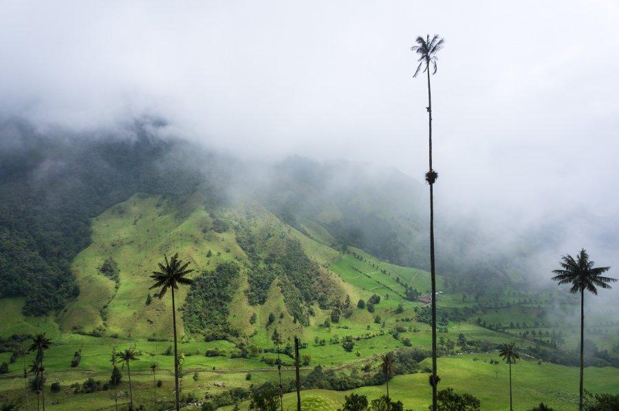 Palmiers dans la vallée de Cocora, Salento