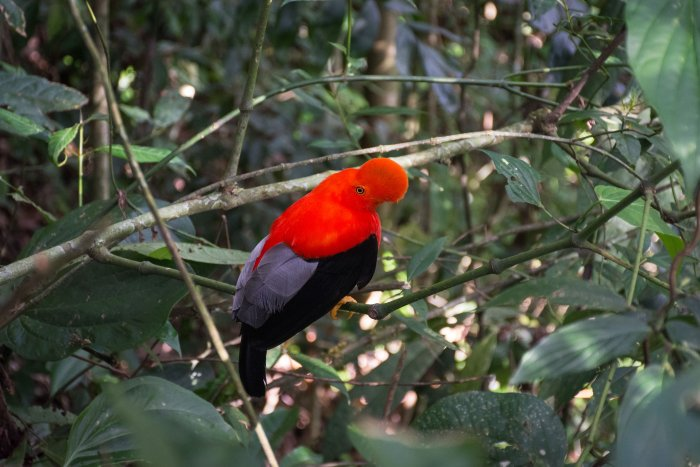 Oiseau Gallito de rocas, Colombie