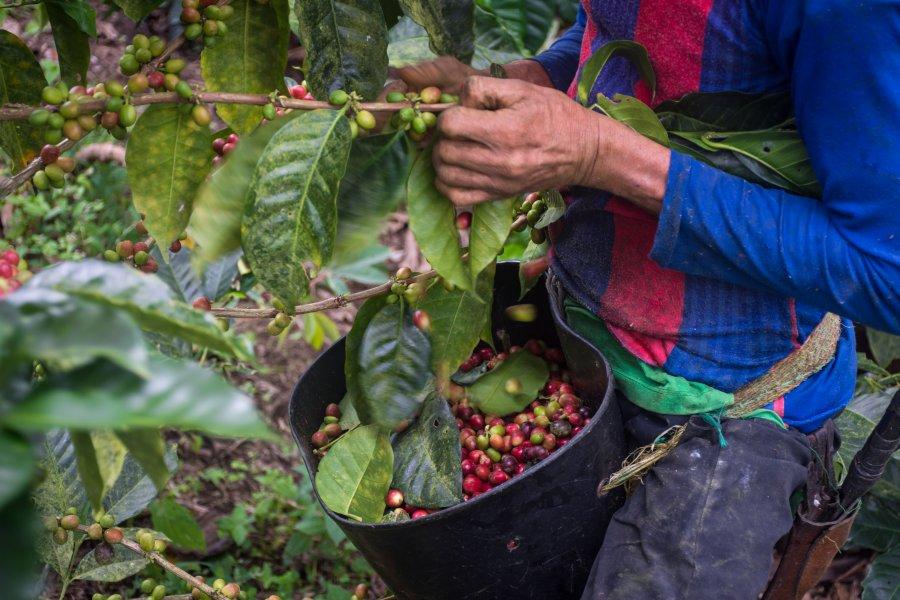 Récolte de café colombien