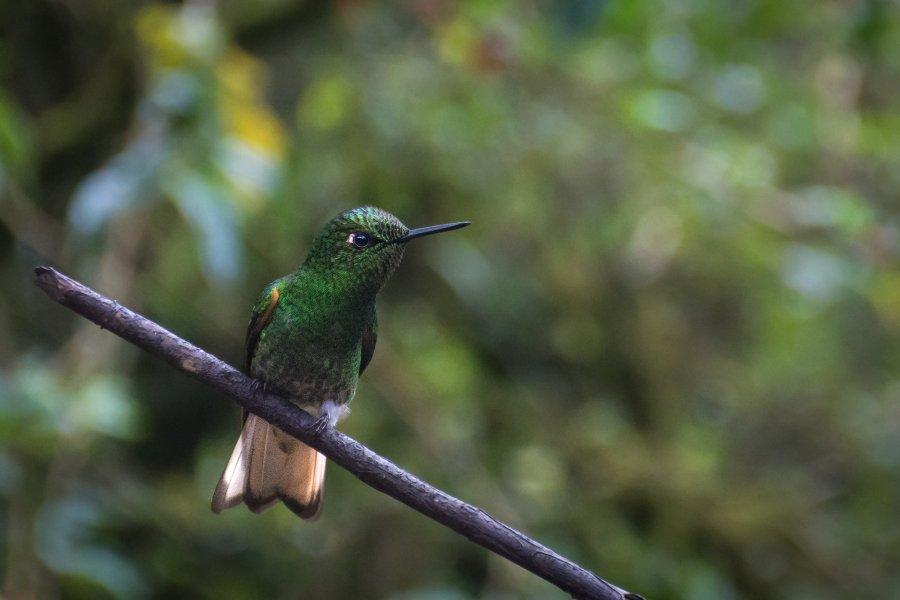Colibri dans la vallée de Cocora, Colombie