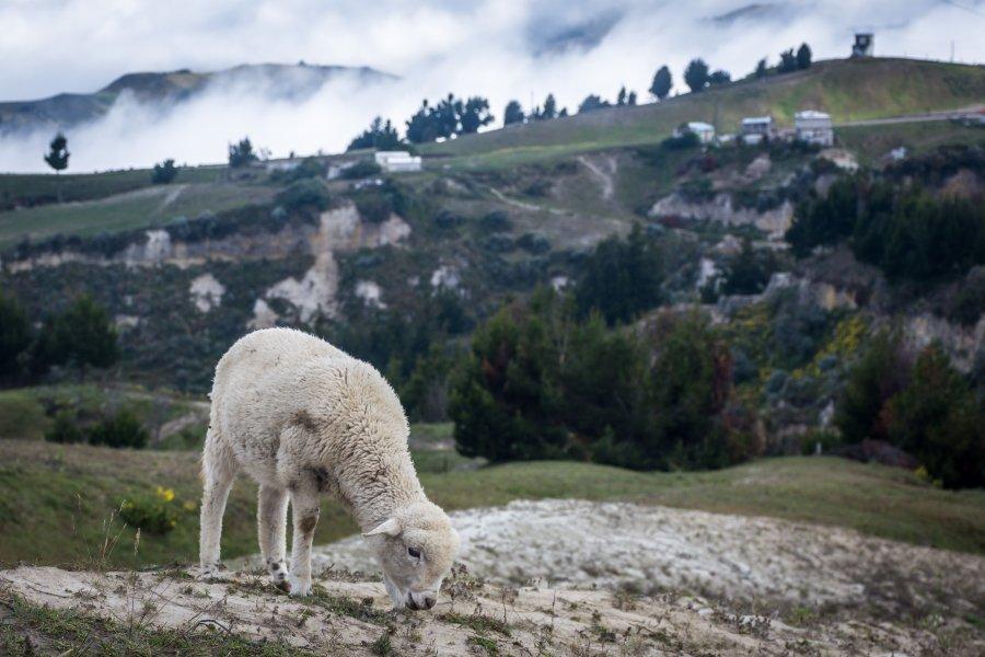 Mouton à Quilotoa