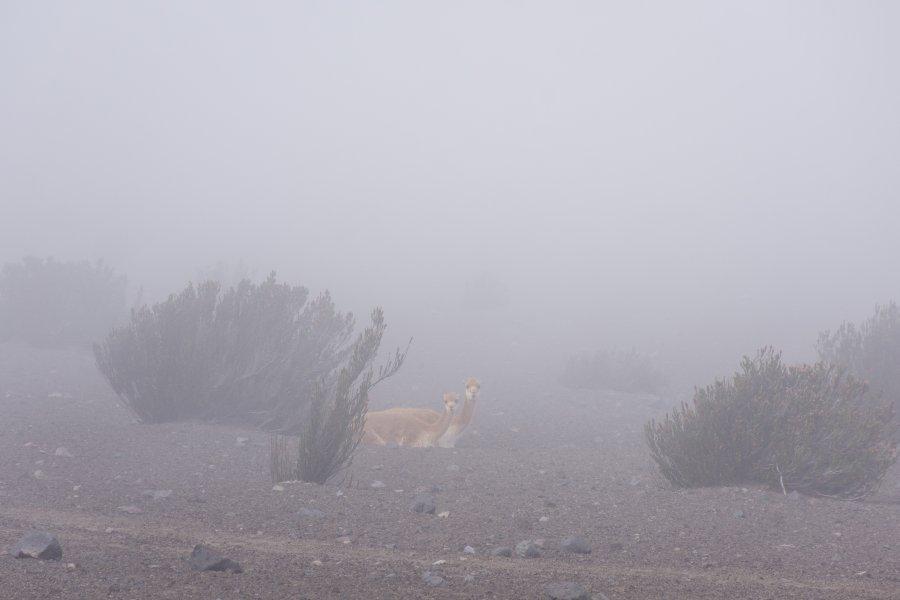 Vigognes sur le Chimborazo, Équateur