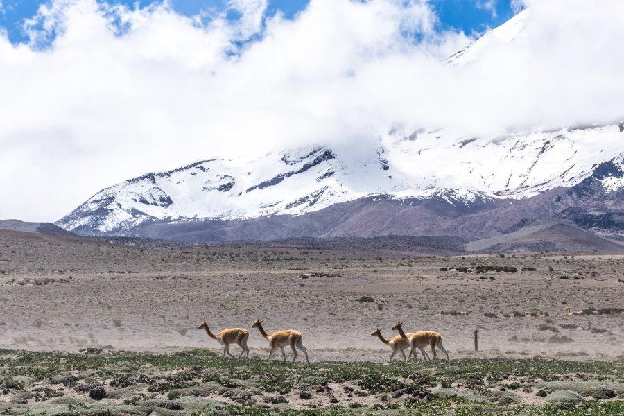 Vigognes sur le volcan Chimborazo, Équateur