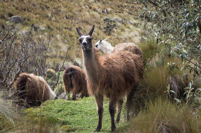 Lamas à Las Cajas, Equateur