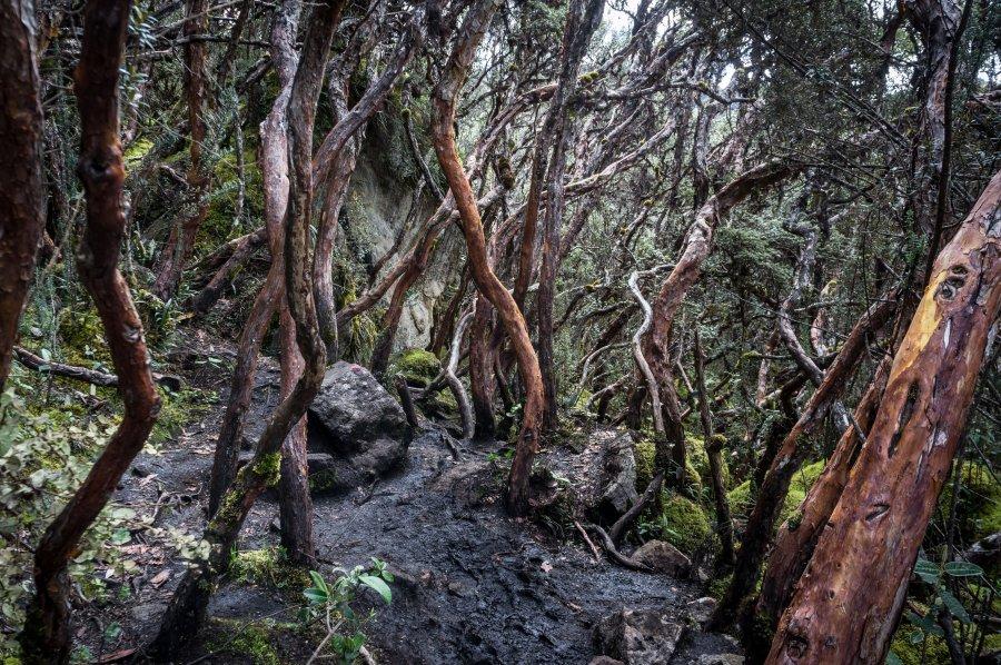 Forêt dans le parc El Cajas, Équateur