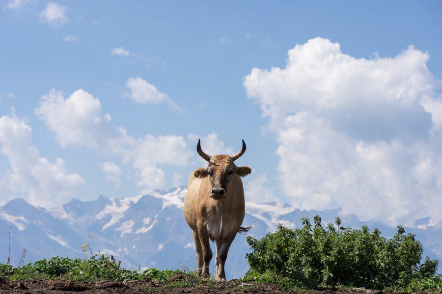 Vache géorgienne