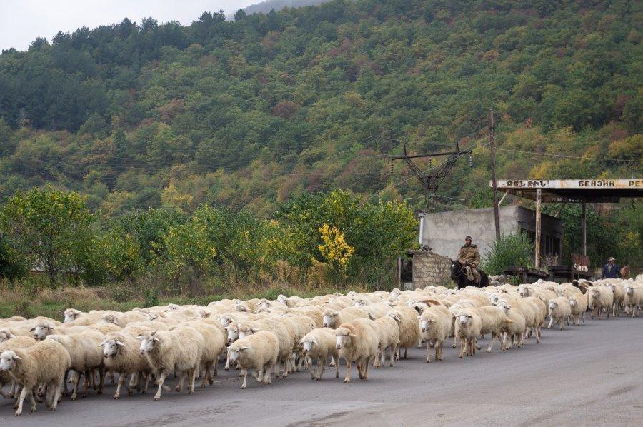 Troupeau de moutons à Goris, Arménie
