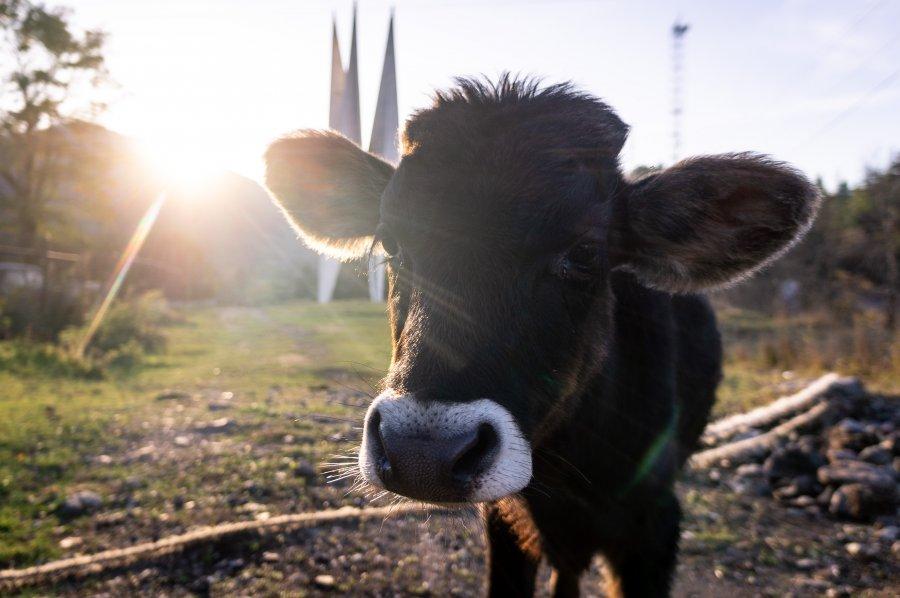 Vache arménienne